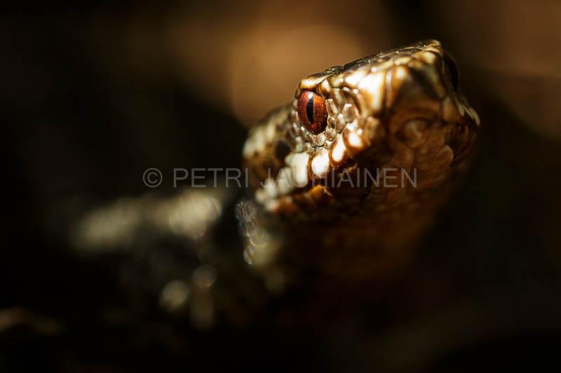 Kyykäärme kevätauringossa